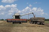 unloading wheat from the combine