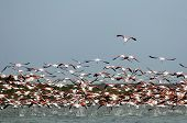Flock Of Flamingos,  In Flight.