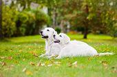 golden retriever dog with a puppy