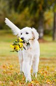golden retriever puppy with flowers