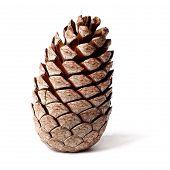 cedar pine cone