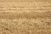 Canted Wheat Field