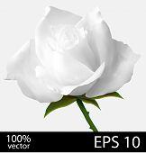 White rose realistic illustration