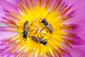 Three tiny bees in circle gathering pollen in the heart of a vivid waterlily flower