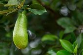 pic of avocado tree  - Fresh avocado or alligator pear hanging on tree - JPG