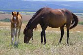 image of foal  - Horse and foal grazing in a meadow