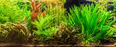 pic of freshwater fish  - A green beautiful planted tropical freshwater aquarium with fishes - JPG