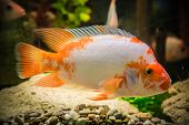 foto of freshwater fish  - A green beautiful planted tropical freshwater aquarium with fishes - JPG