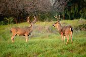 pic of black tail deer  - Black - JPG
