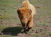 White bison walking