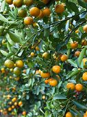 Many Orange On Tree