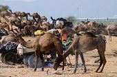 picture of dromedaries  - arabian dromedary camels taking part at famous cattle fair holiday in sacred hindu town of Pushkar inThar desert  - JPG
