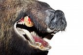 pic of taxidermy  - detail of isolated wild boar snout  - JPG