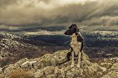 Border Collie Dog Sitting On Rock With Snow Covered Mountains In Background
