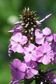 Pink Flowering Phlox  (phlox)