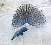 stock photo of female peacock  - peacock display of beauty feathers to the female peacocks - JPG