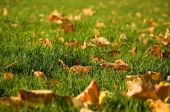 Indian Summer. Yellow Fall Leaves On The Green Grass At Sunny Autumn Day poster