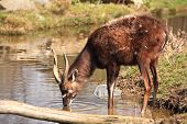 pic of antelope horn  - Antelope Sitatunga inside of small lake - JPG