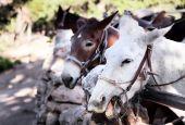 Noisy Mules Near The Grand Canyon