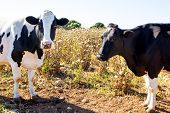 Menorca friesian cows cattle grazing near Ciutadella Balearic Islands