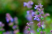 stock photo of purple sage  - Herbal Garden  - JPG