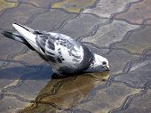 Pigeon Drinking Water