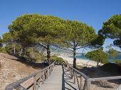parasol pine