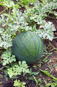 Watermelon On The Plantation