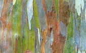 picture of eucalyptus trees  - Colorful bark of the rainbow Eucalyptus  - JPG