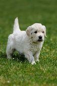 image of swiss shepherd dog  - Baby swiss shepherd sitting on green carpet - JPG
