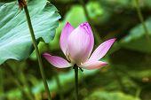 Pink Lotus Close Up Beijing China