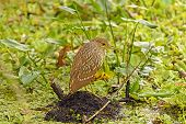 Immature Black-crowned Night Heron In A Swamp