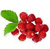 Wild Strawberries  close up  isolated over white background