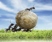 image of working animal  - team of ants rolls stone - JPG