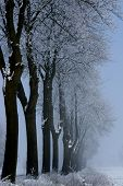 Winter trees in a fog