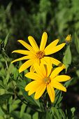 picture of jerusalem artichokes  - Jerusalem artichoke flowers close up in summer - JPG