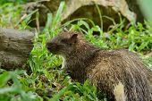 Male Asiatic Brush-tailed Porcupine (atherurus Macrourus)