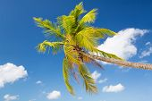 vacation, nature and background concept - palm tree over blue sky with white clouds