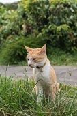 Ginger tabby cat sitting on the grass of outdoor in the cat village of Houtong, Taiwan.