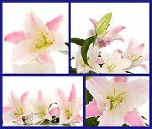 Collage of beautiful pink lilies