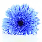 Beautiful blue flower isolated on white