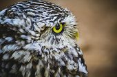 nocturnal, cute little owl, gray and yellow beak and white feathers