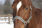 Headshot of a brown horse