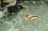 Lesser Whistling Duck( Dendrocygna Javanica) Swimming In Nature
