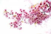 Beautiful Wild Himalayan Cherry Flower