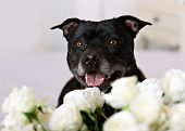 Staffordshire Bull Terrier In Front Of A White Background