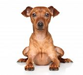 foto of miniature pinscher  - Miniature Pincher lying down in front of white background - JPG