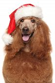 pic of standard poodle  - Royal poodle in Santa red hat - JPG
