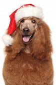 image of standard poodle  - Royal poodle in Santa red hat - JPG