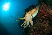 image of cuttlefish  - Cuttlefish - JPG